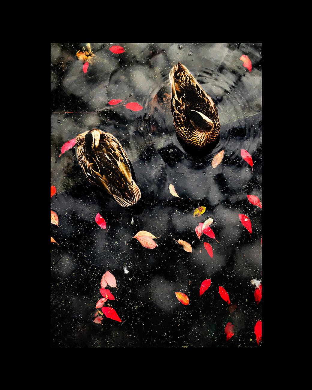 Broomfield Ducks