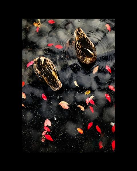 Broomfield Ducks by PaulSwinney