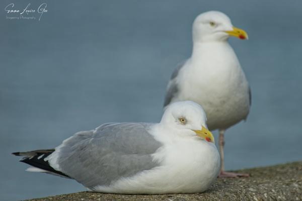 Herring Gulls. by Imageering