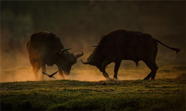 Dueling Buffalo by mjparmy