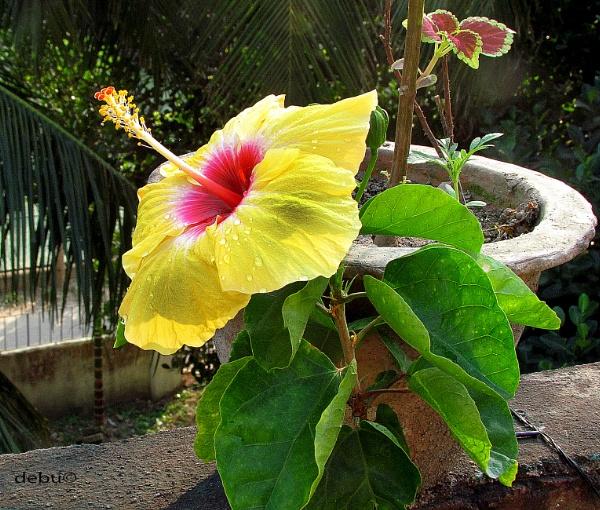 Yellow hibiscus by debu