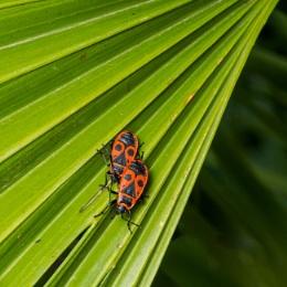 Pyrrhocoris apterus or European Firebugs