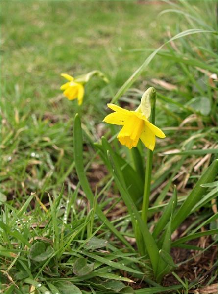 First daffodils by JuBarney