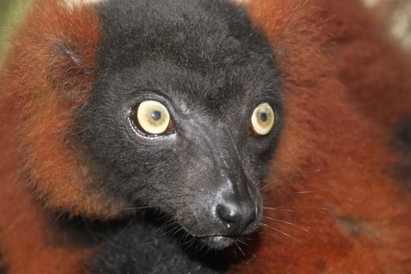 Red Ruffed Lemur by DebsB