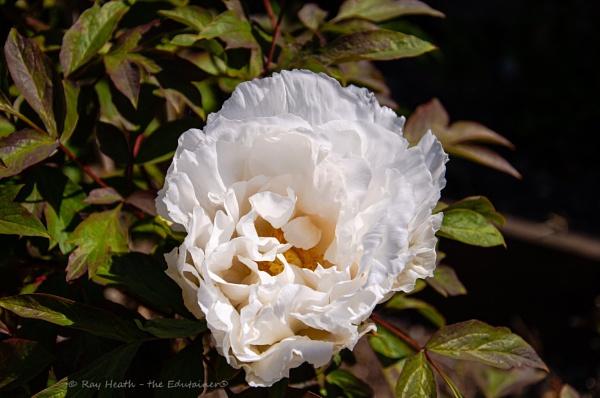 Longford Hall Farm - Liz\'s Garden...snow white peony flower 4 by RayHeath