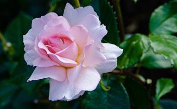 Vibrant pale pink rose flower 2 at Longford Hall Farm Gardens ..
