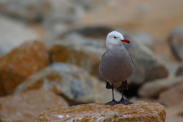 Seagull by comuirgheasa