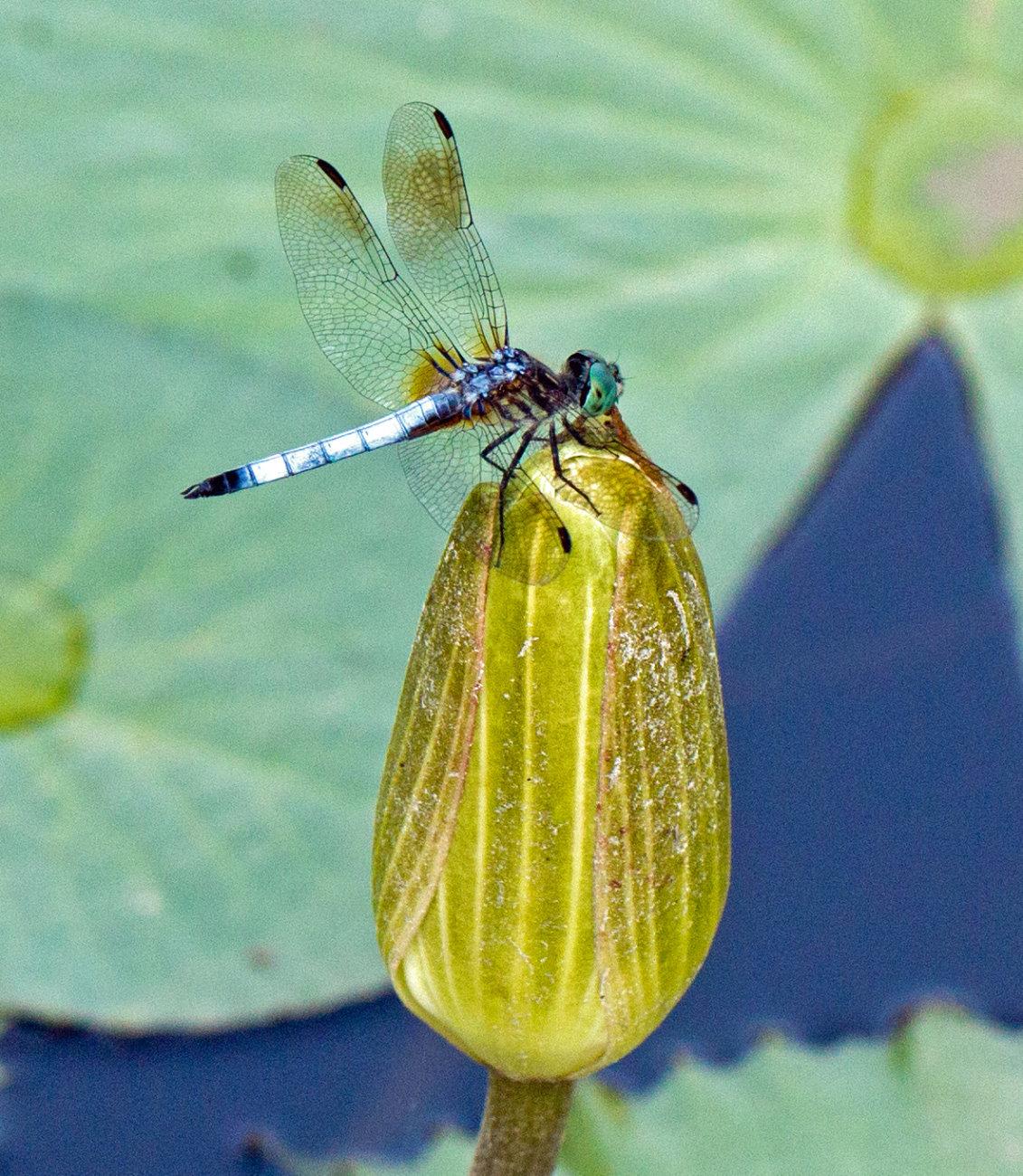 Art Deco Dragonfly