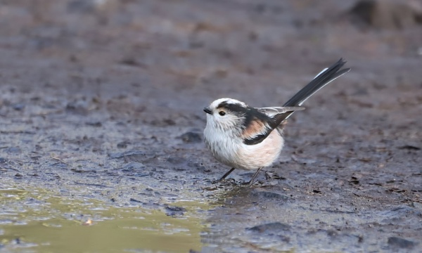 Long-Tailed Tit by Steveo28
