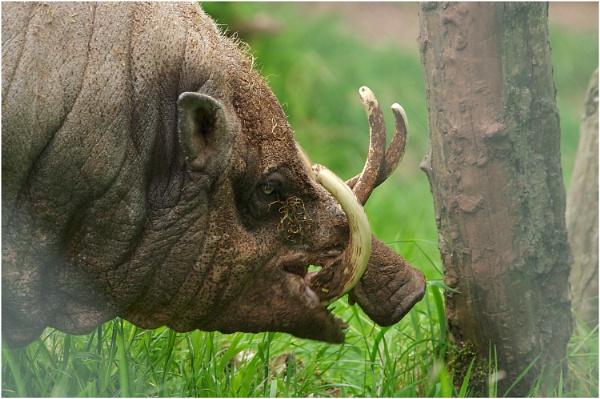 Wild Boar by johnriley1uk