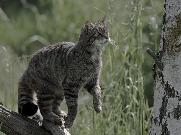 Scottish Wildcat by 10delboy