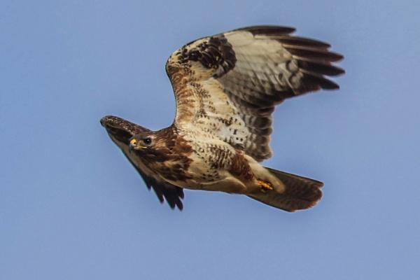 Common Buzzard by Lencollard