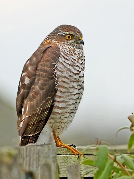 Sparrow Hawk by bobpaige1