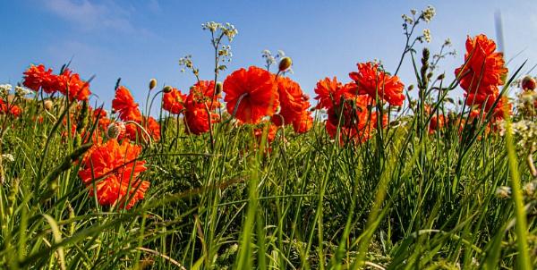 Poppy Field by RonDM