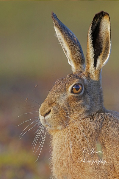 Hare with parasites. by cjones