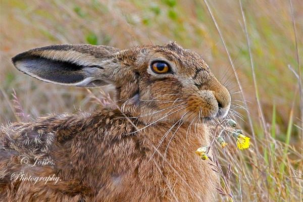 Hare. by cjones