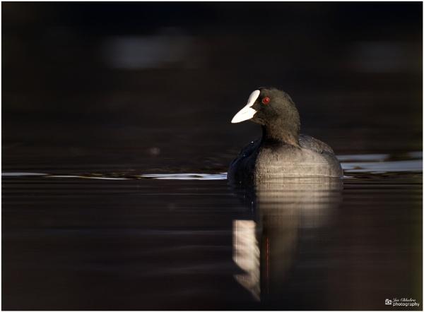 Duck portrait! by Jas2