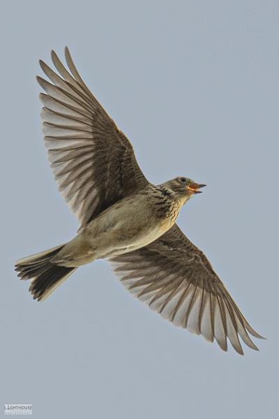 Skylark singing by LighthousePhotography