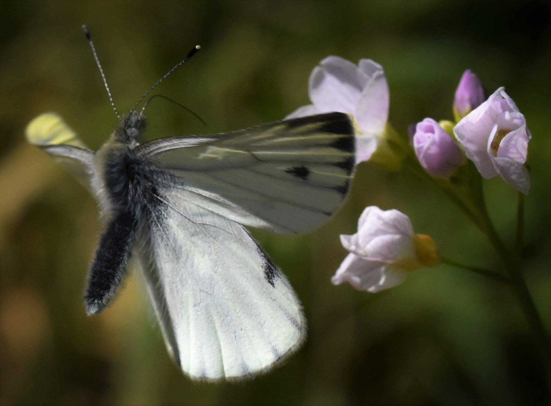 Green Veined White landing on a Cuckoo Flower