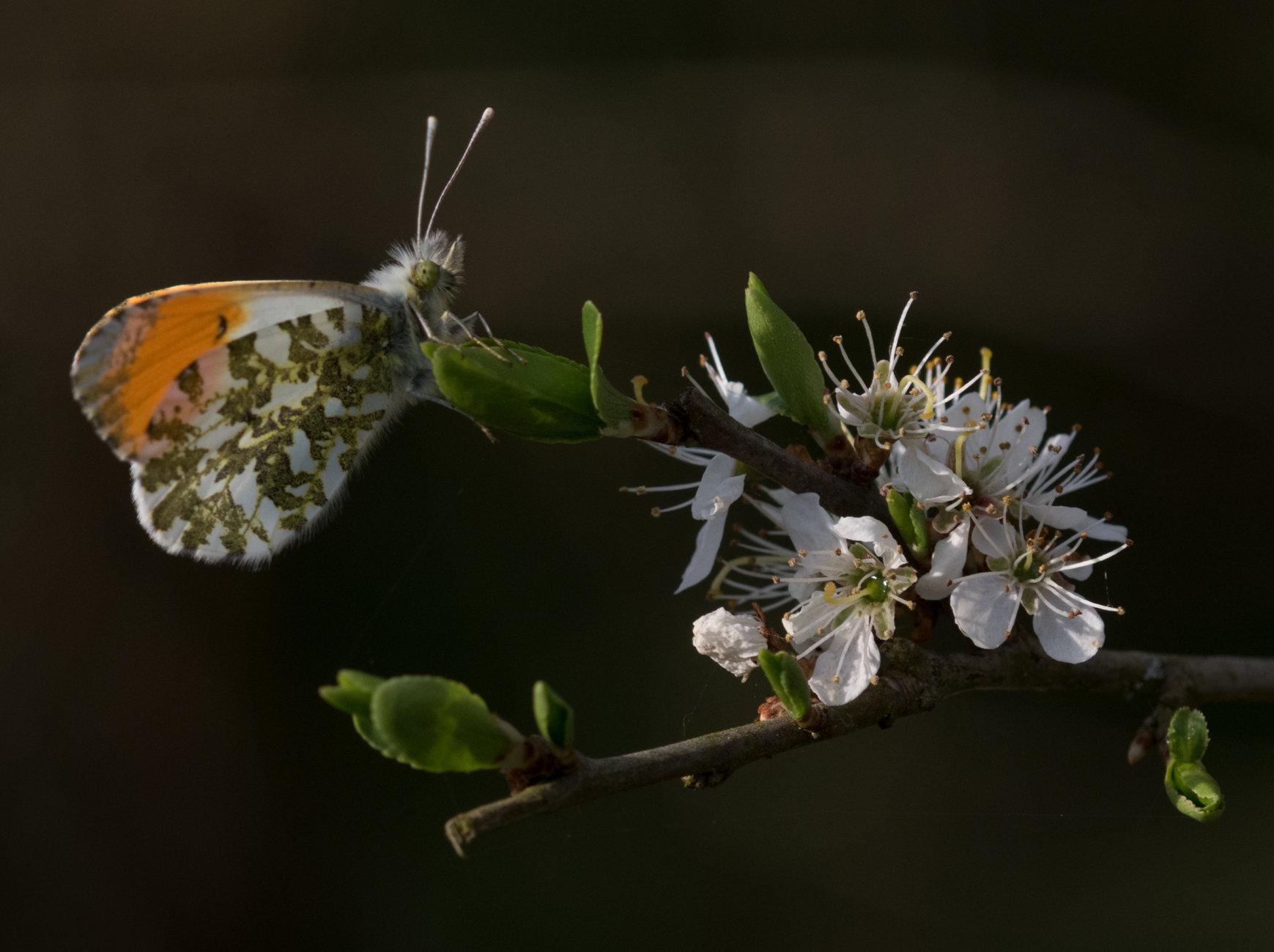 Male orangetip on blackthorn blossom