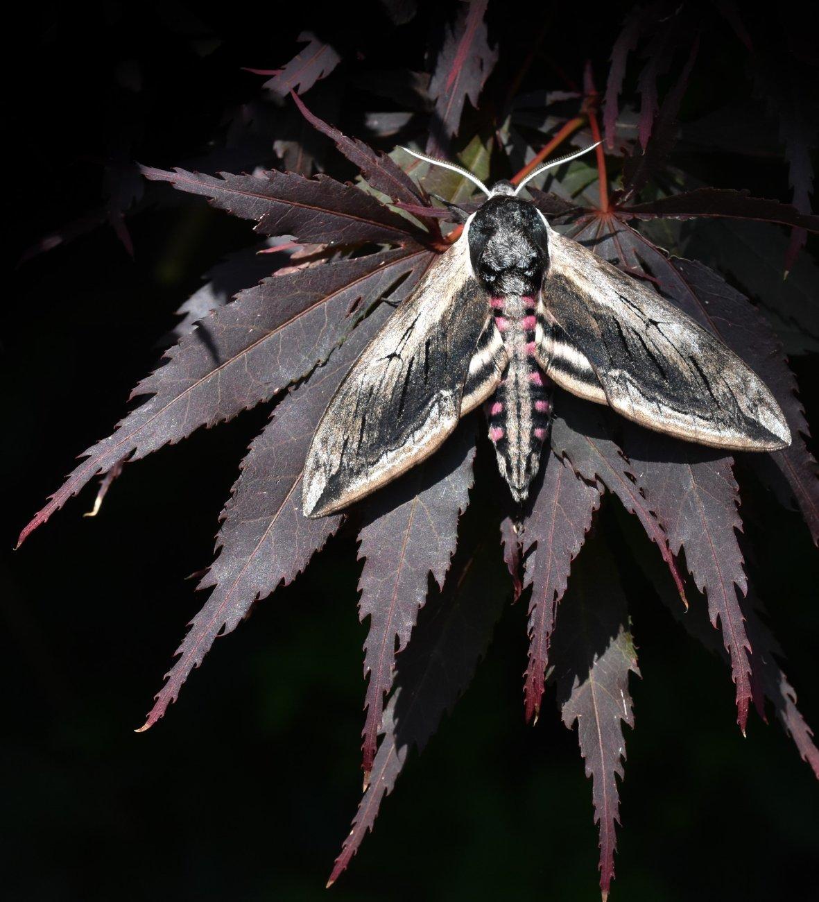 Privat Hawk Moth