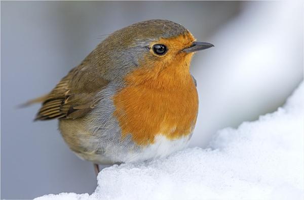 The Snow Robin by AnnetteK