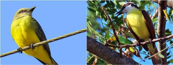 Tropical Kingbird vs The Great Kiskadee by IamDora