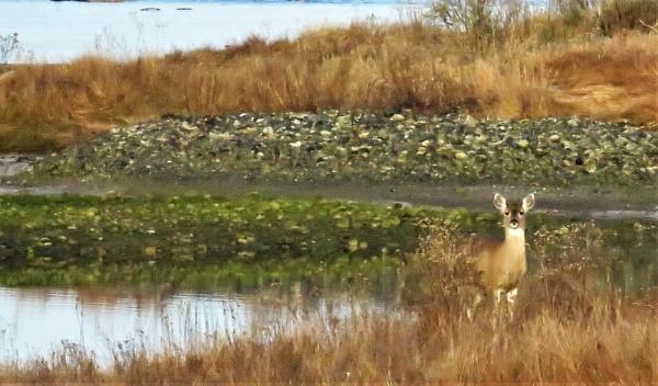 Deer by judee
