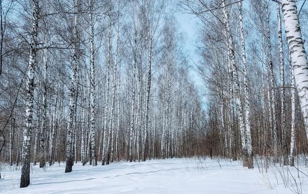 Birch grove by Alex_r