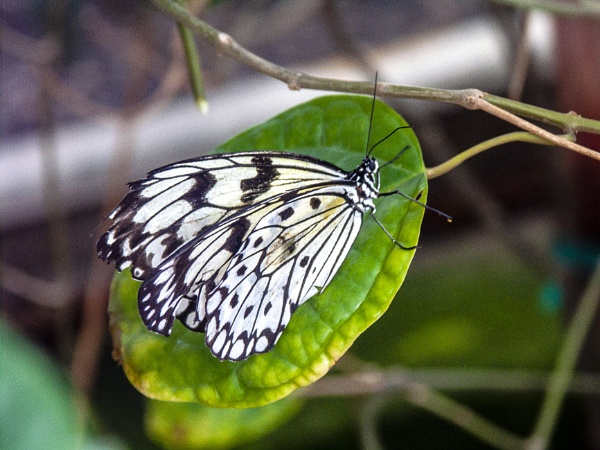 Obviously a Butterfly by MikeGillingham