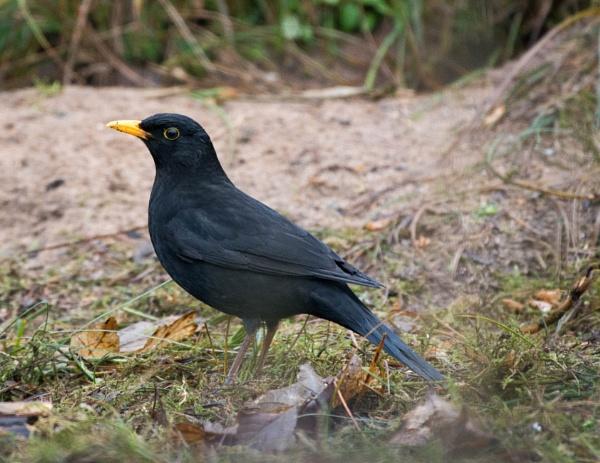 black bird by madbob
