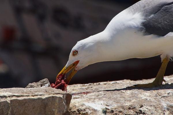 Hungry gull by jinstone