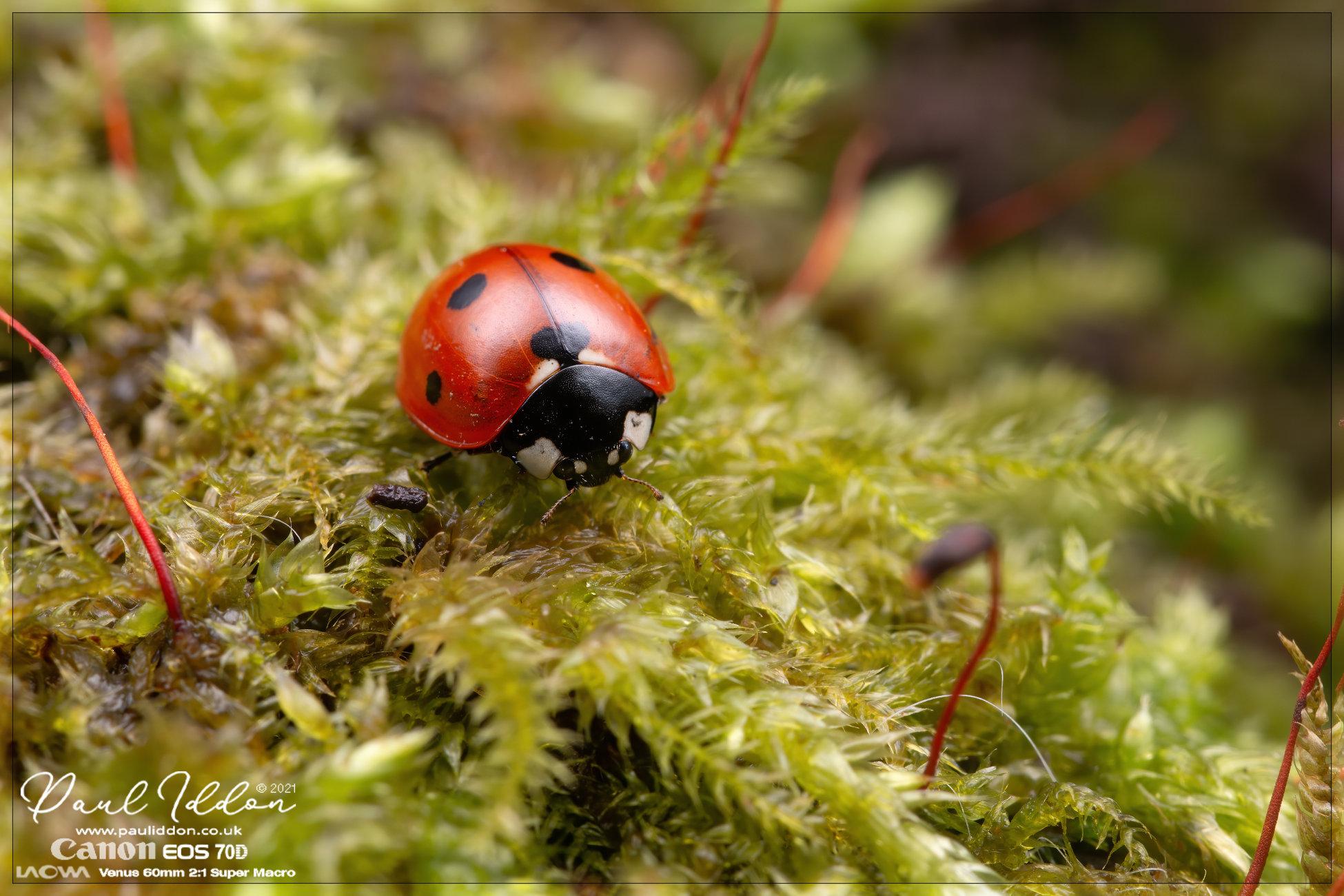 Still working on diffusion... (Ladybird)