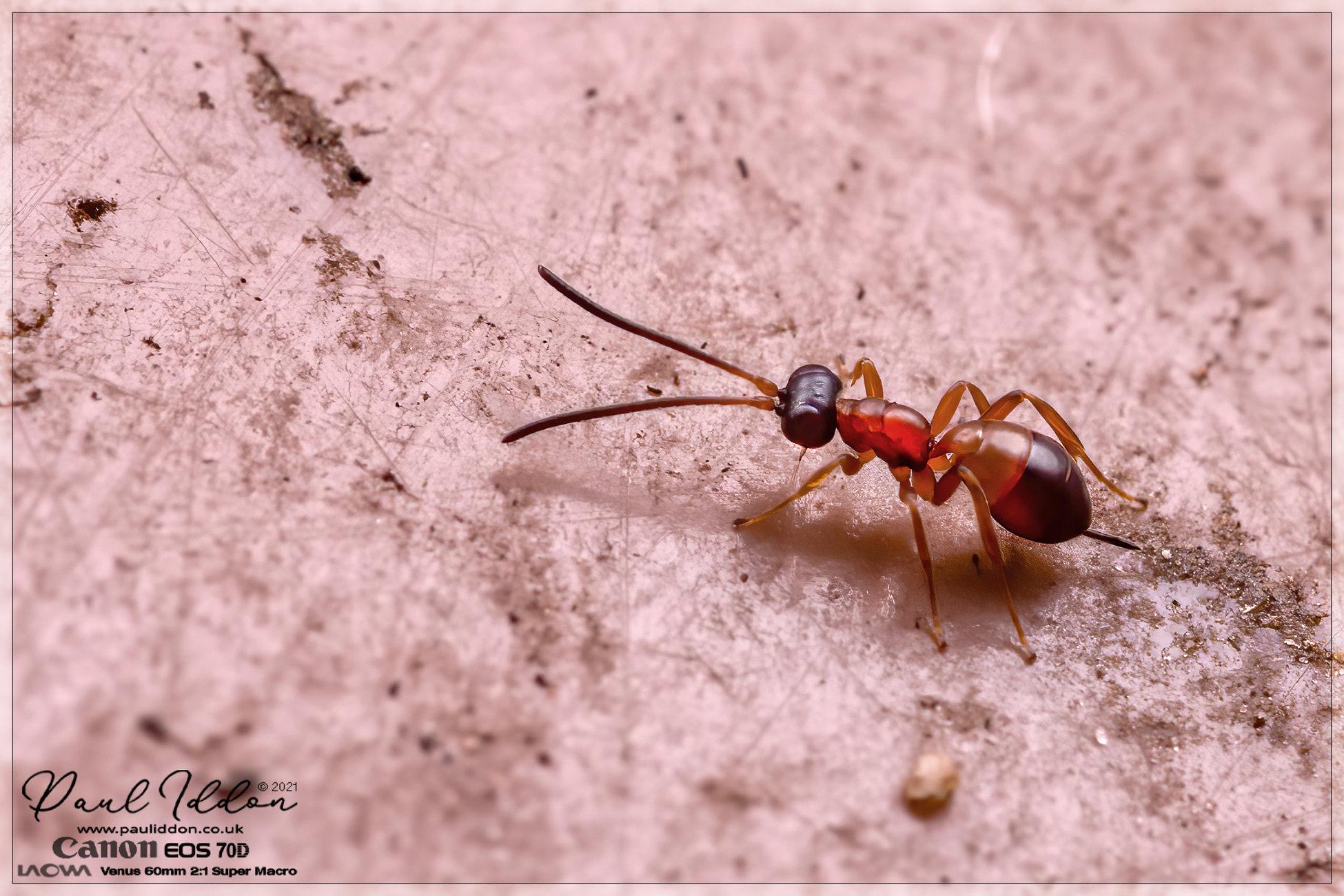 Ant-mimic wasp