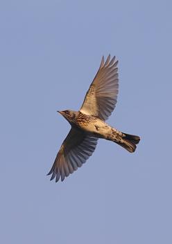 Fieldfares in Flight