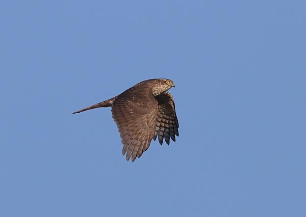 Sparrow Hawk in Flight Sequence by NeilSchofield