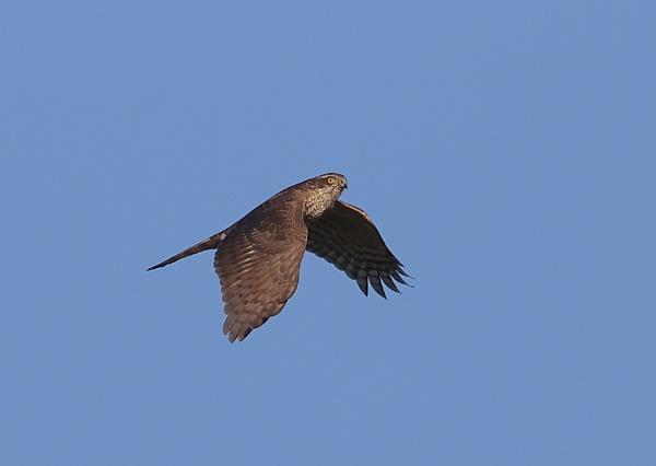 Sparrow Hawk in Flight by NeilSchofield