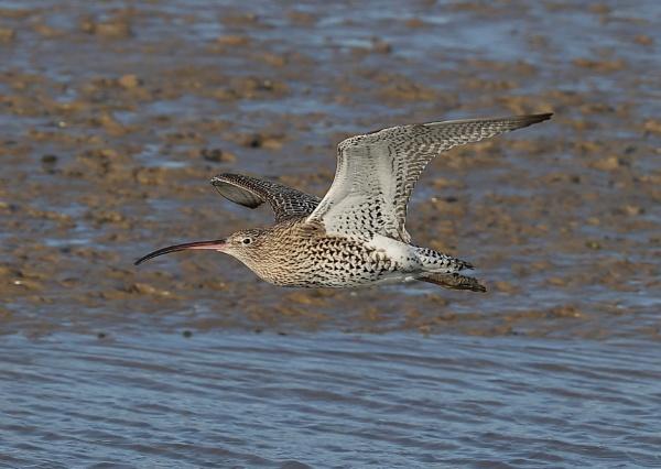 Curlew in Flight by NeilSchofield