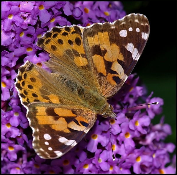 Painted Lady - Basking on Buddleia .. by Badgerfred