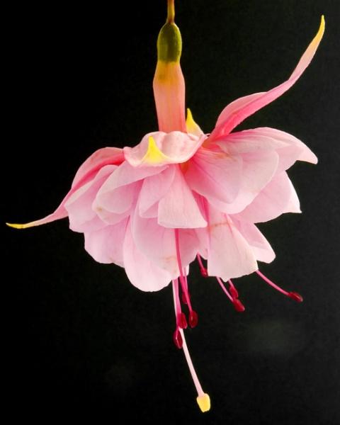 Ballerina Fuchsia by glyndwr