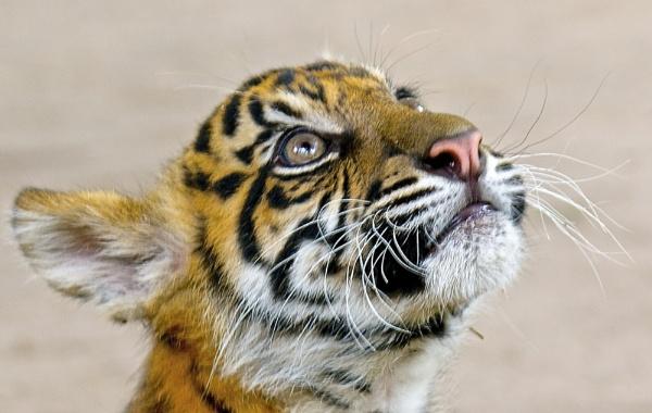 Tiger Cub by harrywatson