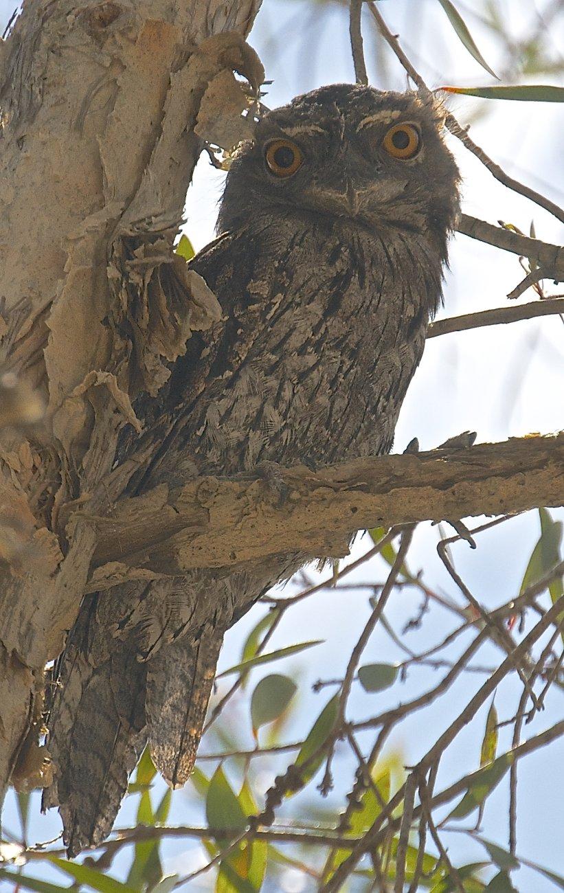 Whispering Owl