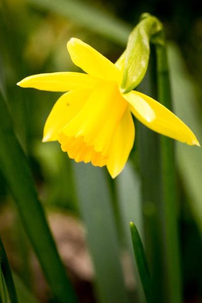 Tête-à-tête Daffodil by JackAllTog