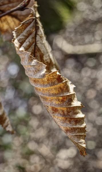 Copper Beech Leaf by nclark