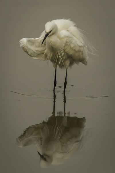 Egret brindling by esoxlucius