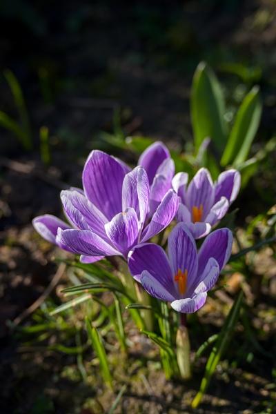 Purple Crocuses flowering in East Grinstead in wintertime by Phil_Bird