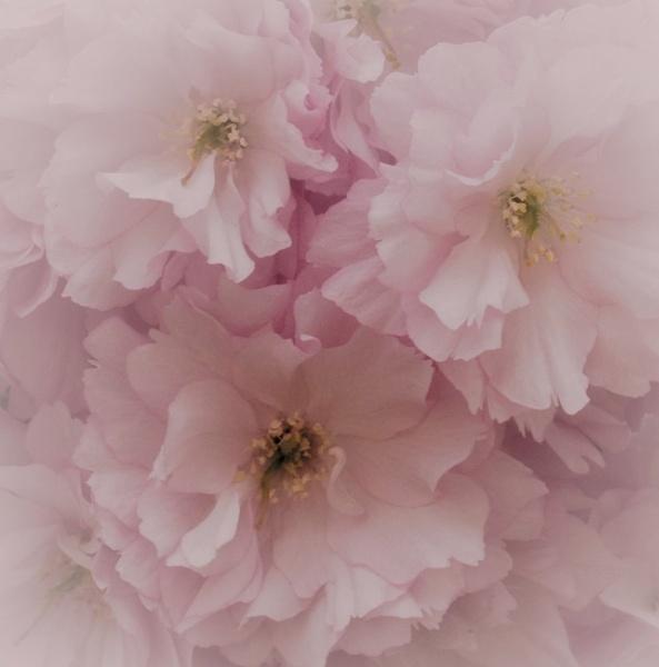 Dreamy Pinks by sweetpea62