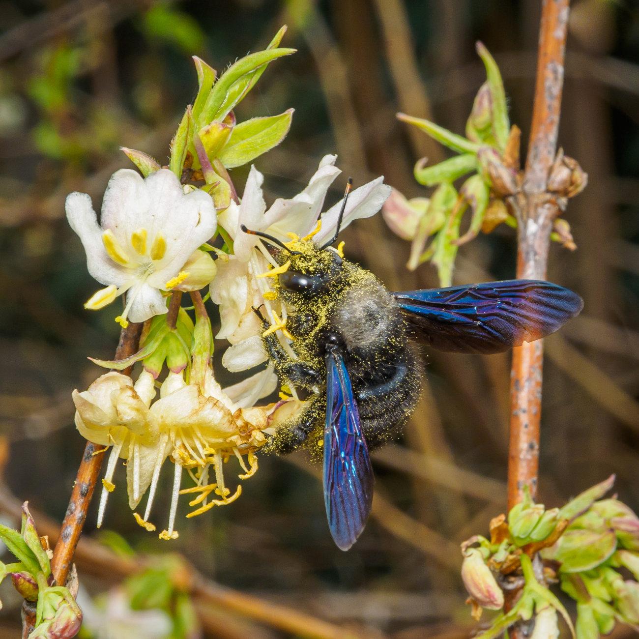 A busy Carpenter bee