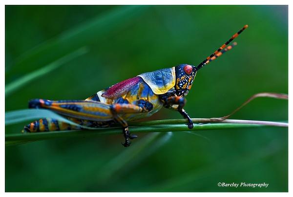 Locust by fatfranksfolley