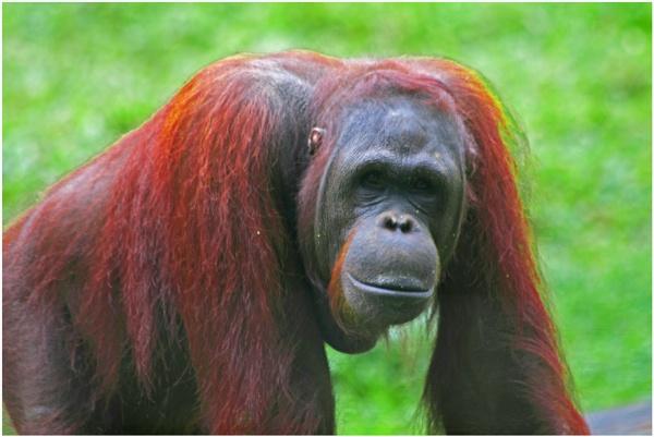 Orangutang  (best viewed large) by gconant